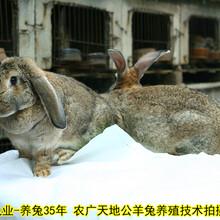 鵬程兔業巨型兔,濟南法國公羊兔鵬程兔業公羊兔農廣天地拍攝種兔場圖片