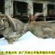 吐魯番法國公羊兔圖