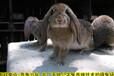 長沙養兔送兔籠種兔農廣天地拍攝種兔場,肉兔