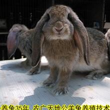 日照養兔送大棚種兔農廣天地拍攝種兔場圖片