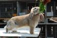 邵陽養兔送飼料肉兔35年種兔培育,種兔