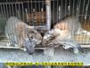 吐魯番法國公羊兔鵬程兔業公羊兔孫師傅35年種兔培育,巨型兔