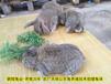 鄭州肉兔30年精心培育種兔