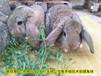 甘孜養兔送大棚種兔農廣天地拍攝種兔場,肉兔