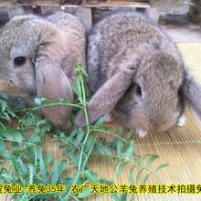 德州合同养兔种兔农广天地拍摄种兔场,肉兔图片