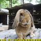 吐魯番公羊兔圖