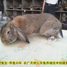 農村養殖肉兔繁殖率高圖片