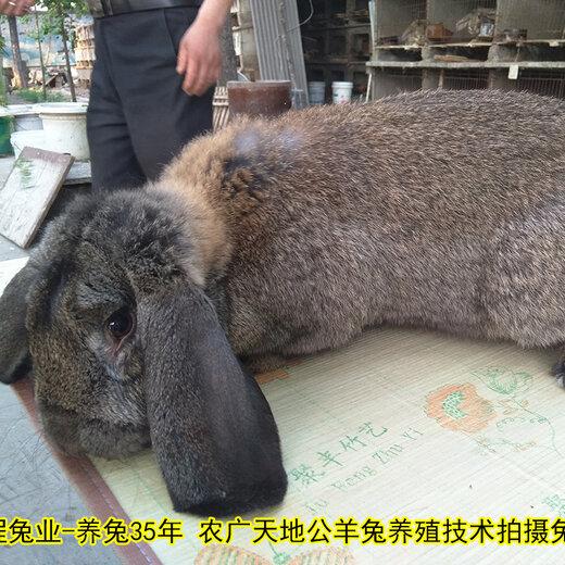 貴州養兔回收公羊兔肉兔繁殖率高,種兔