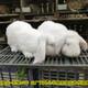 伊犁公羊兔肉兔圖