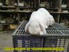 鵬程兔業法國公羊兔,邯鄲公羊兔鵬程兔業公羊兔農廣天地拍攝種兔場