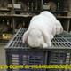 法國公羊兔圖