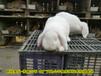 新鄉養兔送兔籠肉兔35年養兔經驗,種兔