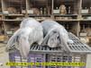 鵬程兔業菜兔,玉溪肉兔繁殖率高