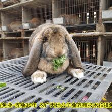 邵陽合同養兔肉兔35年養兔經驗圖片