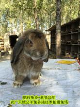 西北养兔送饲料公羊兔肉兔生长快,种兔图片