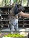 垂耳兔肉兔農廣天地拍攝種兔場,種兔