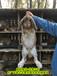 鵬程兔業巨型兔,河南法國公羊兔鵬程兔業公羊兔孫師傅35年種兔培育