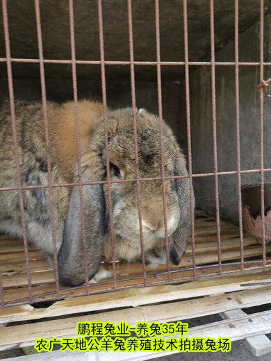 吐魯番法國公羊兔鵬程兔業公羊兔農廣天地拍攝種兔場,法國公羊兔