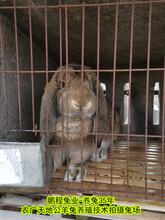 定西公羊兔鹏程兔业公羊兔孙师傅35年种兔培育,巨型兔图片