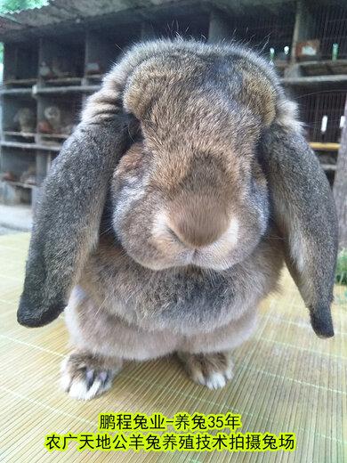 攀枝花合同養兔種兔農廣天地拍攝種兔場