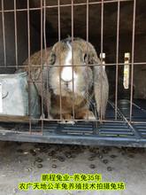 内蒙养兔送饲料公羊兔肉兔繁殖率高图片