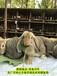 鵬程兔業兔子,商丘肉兔老孫30年養兔經驗
