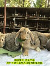 保山肉兔30年培育改良,家兔图片