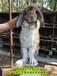 七臺河公羊兔鵬程兔業公羊兔孫師傅35年種兔培育,垂耳兔