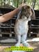 华南养兔送兔笼公羊兔肉兔繁殖率高,家兔