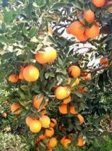 湖北秭歸臍橙代辦/倫晚臍橙/夏橙產地批發行情圖片