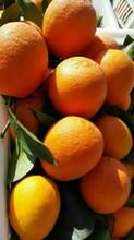 秭歸臍橙代辦產地批發/臍橙現摘圖片