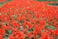 供应草花一串红一串红价格四川一串红苗圃基地