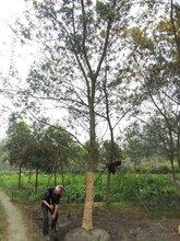 供应米径18公分合欢树,合欢最新价格,合欢树工程苗木图片