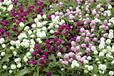 出售千日红草花,草花最新报价,四川草花最新价格,千日红草花苗圃基地