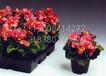 出售四季海棠,玻璃海棠价格,海棠花价格,海棠最新价格