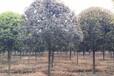 2017年四川桂花树最新价格,14公分桂花树报价,成都桂花树价格