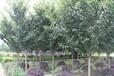 供应米径8公分樱花价格,日本晚樱价格,樱花最新价格,樱花苗圃基地