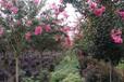 供应米径10公分紫薇树,红花紫薇树,四川紫薇树