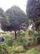 供应15公分中等树形桂花八月桂树形优美价格实惠