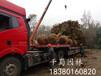 供应直径20公分广玉兰,四川成都广玉兰苗圃基地电话