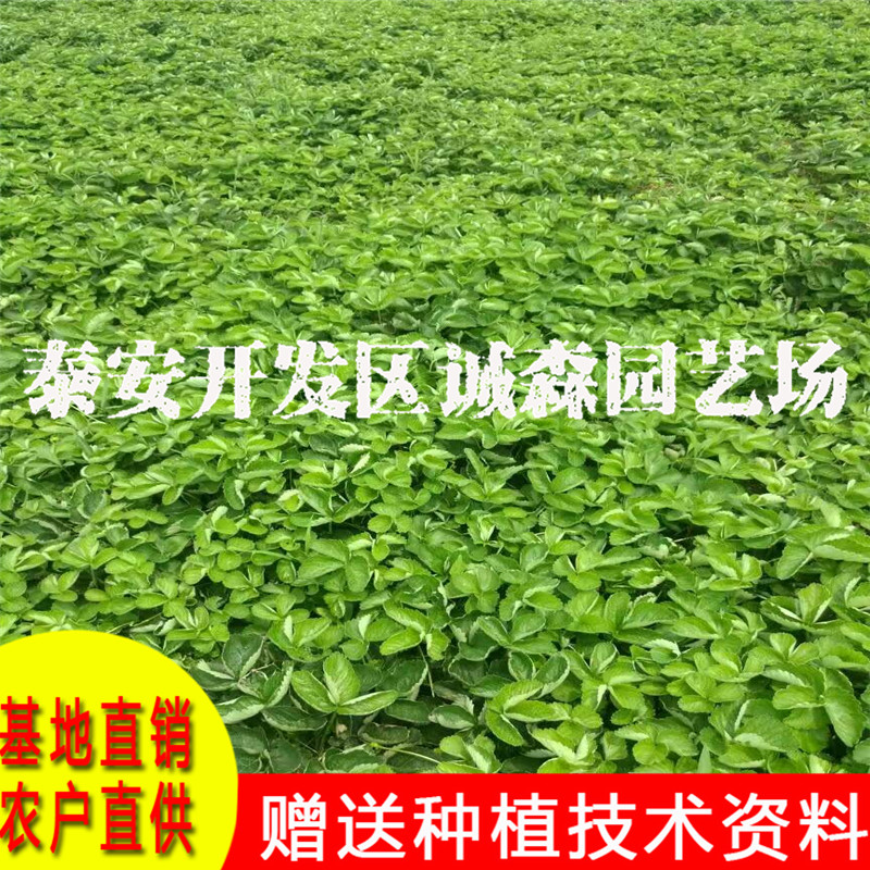 2017年草莓苗价格红颜草莓苗价格山东草莓苗价格