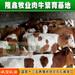 犊牛养殖肉牛小牛犊活体原生态养殖厂优良纯种犊牛出售
