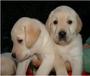 上海拉布拉多价格拉布拉多犬舍拉布拉多图片拉布拉多好养吗