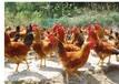 散养土鸡土鸡蛋陪送上门-心农园