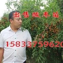 出售酸枣苗《内蒙基地》内蒙1公分酸枣苗价格图片