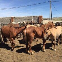 山东硕实农牧开发有限公司供应马肉、进口马肉、蒙古马肉图片