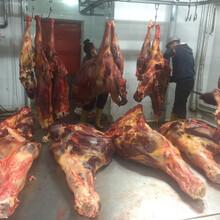 供应进口马肉蒙古马肉--山东硕实农牧开发有限公司图片
