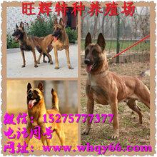 比利时血统马犬图片