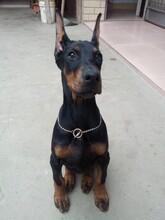 杜宾犬介绍_杜宾犬智商_杜宾性格图片