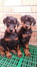 杜宾犬是什么品种的狗?杜宾犬的别名及品种简介_杜宾犬图片